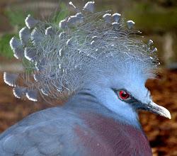 Photo: Fächertaube (Victoria Crowned Pigeon, Goura victoria)  Neuguinea  (Fotografiert im Vogelpark Alphen, NL)