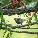 red-winged blackbird (female)