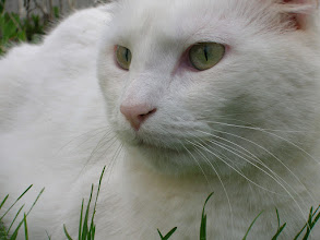 Photo: It's turning white outside....  The first real snow of the season in falling... I'm still missing last Spring... Seems like a good time to post a white cat... Whose eyes are as green as anything... ---------------------------------------------------------------- I've locked myself in my room in hopes of getting some writing done... But reality keeps knocking at my door... Oh well... Happy #Caturday anyway...  Hi +Christophe Friedli & +Lee Daniels!