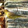 Yellow Palm Warbler