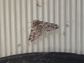 Photo: 25 Jan 14 Priorslee Lake First moth of the year: a very fresh-looking Spring Usher. (Ed Wilson)