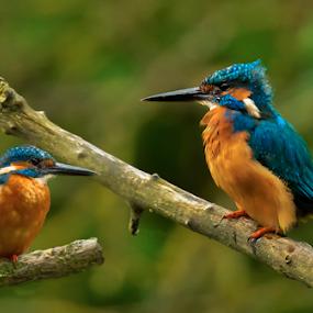 The Kingfishers by Peter Wyatt - Animals Birds ( nature, marsworth, kingfisher, lake, kingfishers, birds )