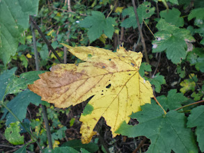 """Photo: Found this one while searching for a nice photo for +Jasbir S. Randhawa's birthday greeting today.  Shot some time ago - one of the first autumn leaves.  #leavesonthursday +Leaves On Thursday Curators +Anne Durand +Stephen Thackeray +Ray Bilcliff +Mehdia Ridder  no post today for #abcproject , sorry +Levi Moore-- didn't have time to take photo of """"quiet quiver"""" that is waiting in my bedroom to be taken back into action once my elbows don't ache anymore ............"""