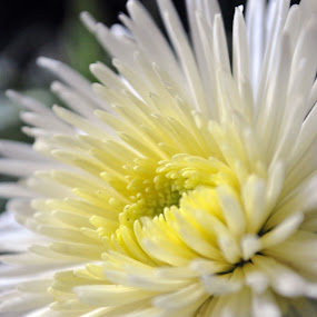 Flow er pt 2 by Yanuunay Wibowo - Nature Up Close Flowers - 2011-2013 ( macro, white, yellow, flower, close )
