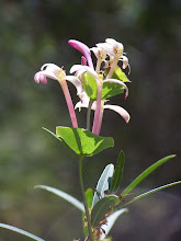 Photo: Lonicera implexa
