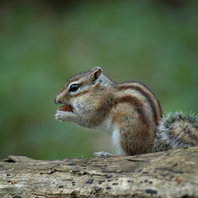by Nick Vanderperre - Animals Other Mammals (  )