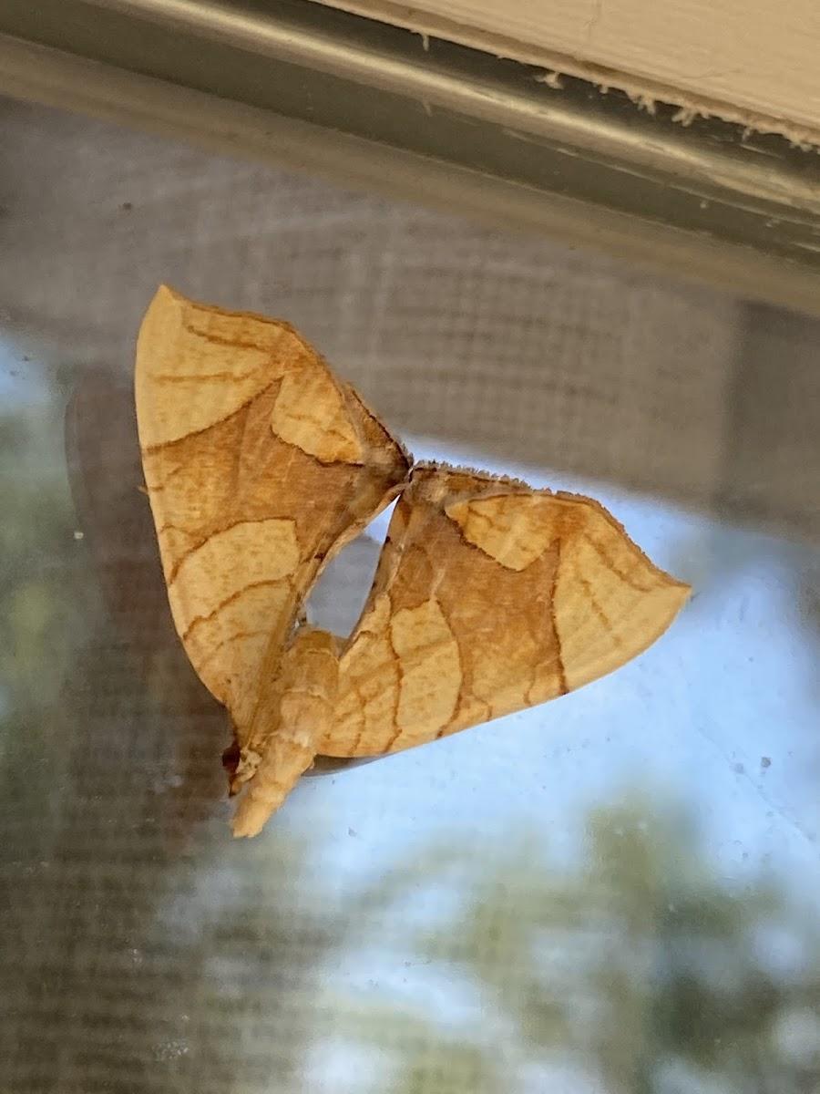 Lesser Grapevine looper moth
