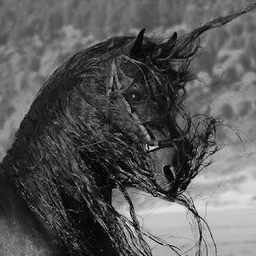 Wind Blown Mane by Nancy Tubb - Animals Horses ( stallion, equine, horse, black horse, freisian,  )