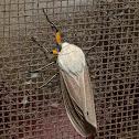 Clouded Tiger Moth