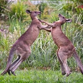 Boxing Kangaroos by Erica Siegel - Animals Other Mammals ( fighting kangaroos, kangaroo, boxing kangaroos, marsupial, eastern grey kangaroo )