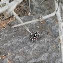 Habrocestum egaeum spider
