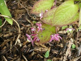 Epimedium czerwone Epimedium x rubrum