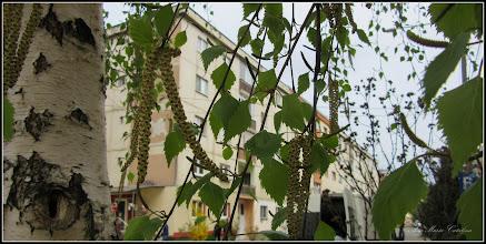 Photo: Mesteacăn (Betula) - de pe Str. Macilor - 2017.04.04