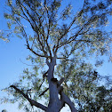 Narrow-leaved Scribbly Gum