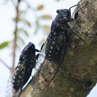 Cicada / Kuliglig