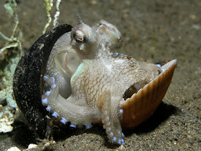 Photo: Octopuses are highly intelligent, possibly more so than any other order of invertebrates. Maze and problem-solving experiments have shown evidence of a memory system that can store both short- and long-term memory. Two-thirds of an octopus's neurons are found in the nerve cords of its arms, which have limited functional autonomy. Octopus arms show a variety of complex reflex actions that persist even when they have no input from the brain. Some octopuses, such as the mimic octopus, will move their arms in ways that emulate the shape and movements of other sea creatures.  In laboratory experiments, octopuses can be readily trained to distinguish between different shapes and patterns. Octopuses have been observed in what some have described as play: repeatedly releasing bottles or toys into a circular current in their aquariums and then catching them. Octopuses often break out of their aquariums and sometimes into others in search of food. They have even boarded fishing boats and opened holds to eat crabs. Some octopus species have been witnessed retrieving discarded coconut shells, manipulating them, and then reassembling them to use as shelter.