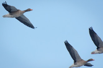 Photo: Greylag Goose (Graugans); Wedel, DE