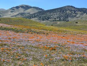 Photo: Antelope Valley Wildflowers - M. White
