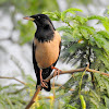 Rosy starling- Male