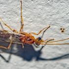 Trap-Jaw Ant / Formiga-de-Estalo