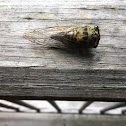 Scissor Grinder Cicada