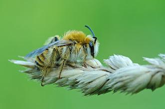 Photo: Bombus  sp.  http://lepidoptera-butterflies.blogspot.com/