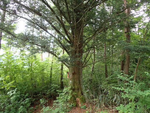 手前ピークのもみの木