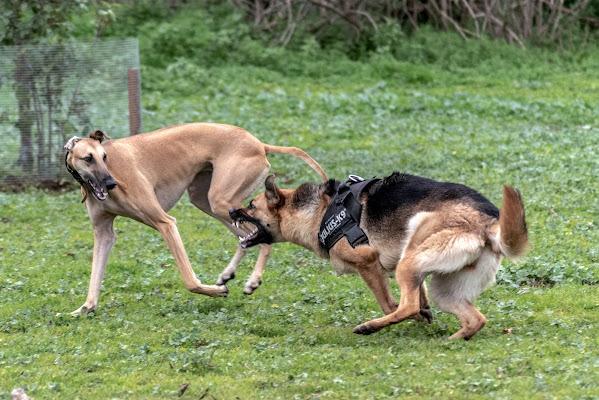 Canini di Al