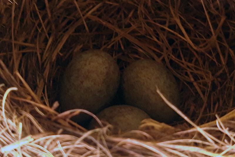 Common Blackbirds Nest
