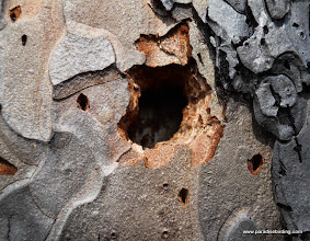 Photo: Woodpecker claw marks up close (the little holes, not the big one!)