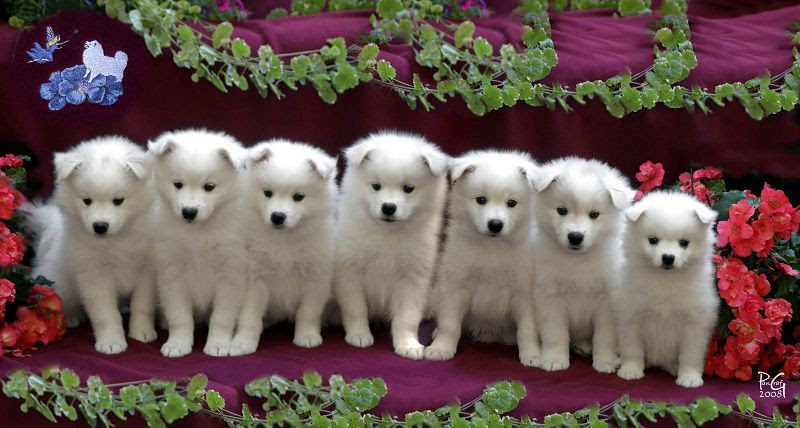 American Eskimo dog price range. Where to buy American Eskimo puppies?