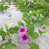 Beach Morning Glory