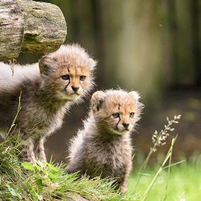 Let`s do it by Jürgen Sprengart - Animals Lions, Tigers & Big Cats ( babies, cheetah )