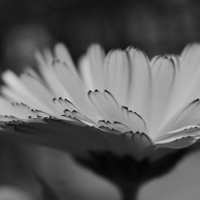 Marigold by Billy Kennedy - Black & White Flowers & Plants ( petals, marigold, close up, flower )