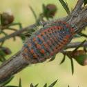Large Mealybug - female