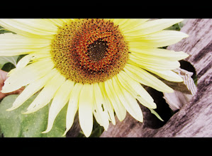 Photo: Cinemascope photo of a sunflower by an old, wooden fence at Cox Arboretum and Gardens of the Five Rivers Metroparks in Dayton, Ohio.