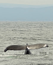 Photo: 44. What you're seeing here is the tail up, right as the whale dives for food ... they eat mostly krill, tiny crustaceans that they trap in their baleen.