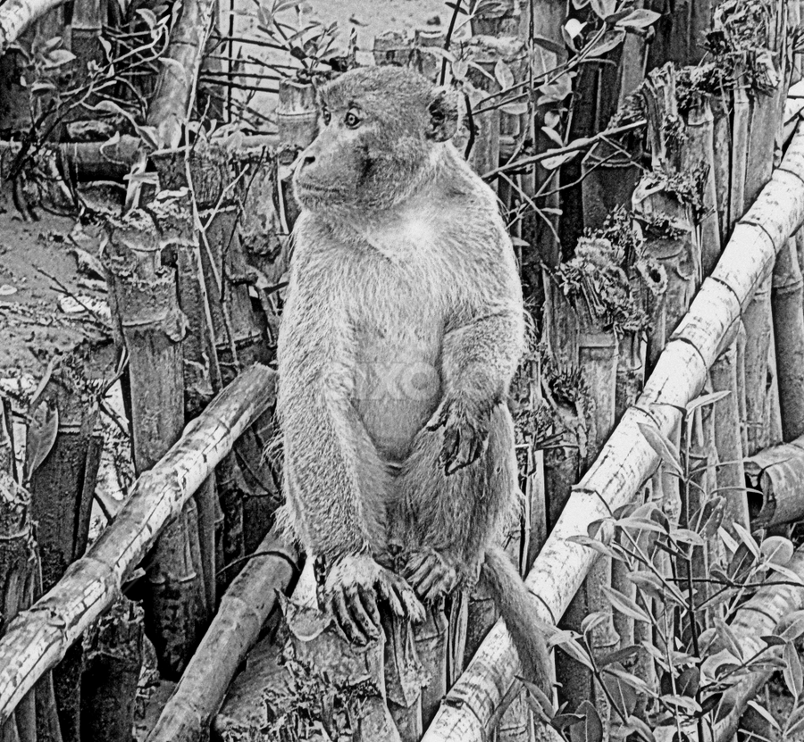 Rhesus Macaque by Kingshuk Mondal - Animals Other Mammals ( rhesus macaque, sundarban, primate, monkey )