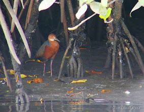 Photo: Rufous-necked Wood-Rail in mangroves on the Rio San Cristobal; La Tovara boat ride