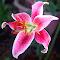 lily2015.jpg