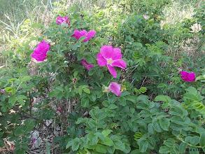 Photo: japán rózsa