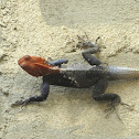 West African Rainbow Lizard