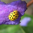22-spot ladybird, Zweiundzwanzigpunkt-Marienkäfer