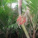Kermadec Nikau Palm