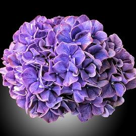OLI hydranger 01 by Michael Moore - Flowers Single Flower