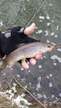 Photo: Below average Mad River Brown Trout on a San Juan Worm!
