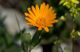 Photo: Calendula arvensis (Asteraceae), Field Marigold