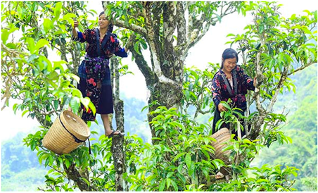 Farmers pick leaves from big old tea trees to make Shan Tuyet.
