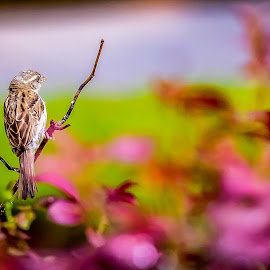 The House Finch admires the Flowers by Ed Stines - Animals Birds ( flowers, nature, wild bird, avian, chickadee, inflight, feathers, wings, backyard birding, bird, backyard bird, garden, bird feeder, finch )