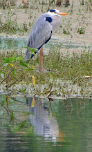 Photo: Grey Heron
